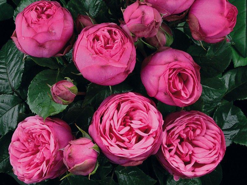 сожалению, роза пиано фото и описание отзывы честь